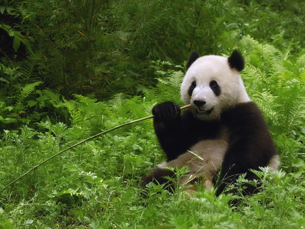 wallpapers-panda-cute-by-edgexlasher-animal-wildlife-1600x1200